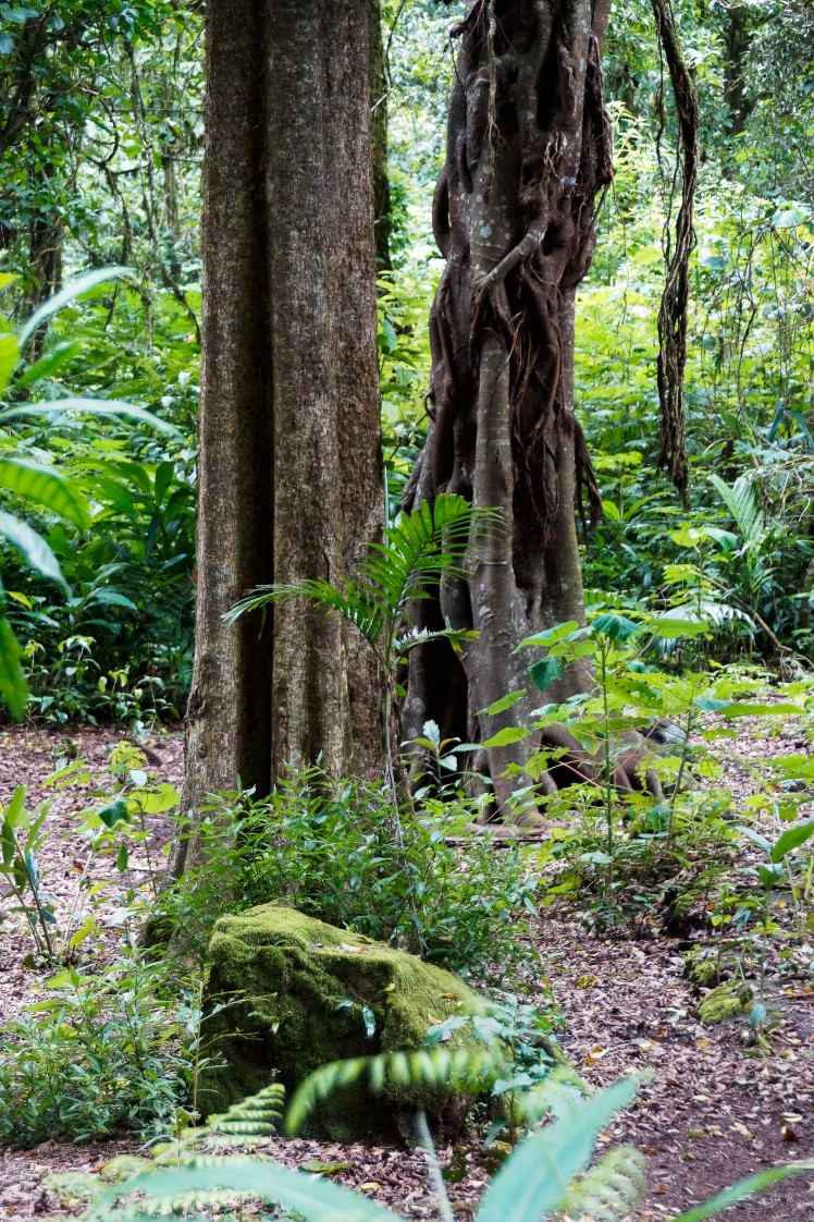 It creeps its vines around trees like the one at the left, strangling it, leaving a new Banyan tree that is hollow.